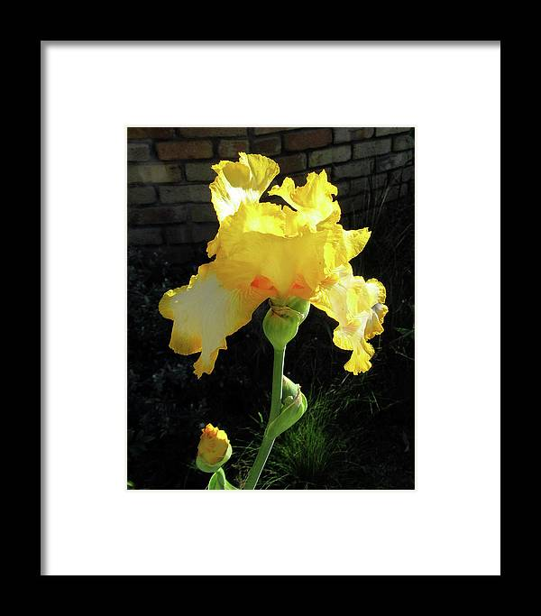 Iris Framed Print featuring the photograph Iris by JOANNE McCubrey