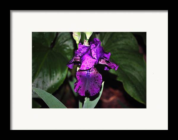 Floral Framed Print featuring the photograph Iris by M Ryan