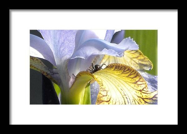 Iris Framed Print featuring the photograph Iris Spider by Karen Moulder