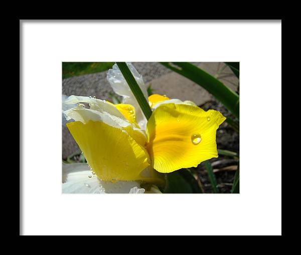 �irises Artwork� Framed Print featuring the photograph Irises Artwork Iris Flowers Art Prints Flower Rain Drops Floral Botanical Art Baslee Troutman by Baslee Troutman