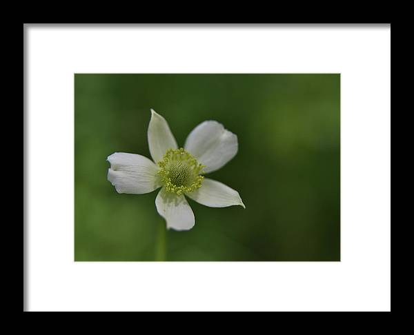 Single Flower Framed Print featuring the photograph Isolated by M James McAdams