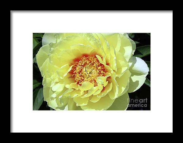 Itoch Framed Print featuring the photograph Itoch Peony by Douglas Milligan