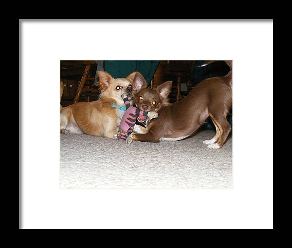 Chihuahua Framed Print featuring the photograph It's Mine by James and Vickie Rankin