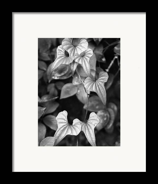 Ansel Adams Framed Print featuring the photograph ivy by Curtis J Neeley Jr