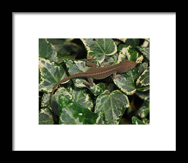 Anole Framed Print featuring the photograph Ivy Liz by Trudi Southerland