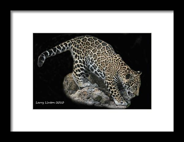 Jaguar Framed Print featuring the photograph Jaguar Cub by Larry Linton