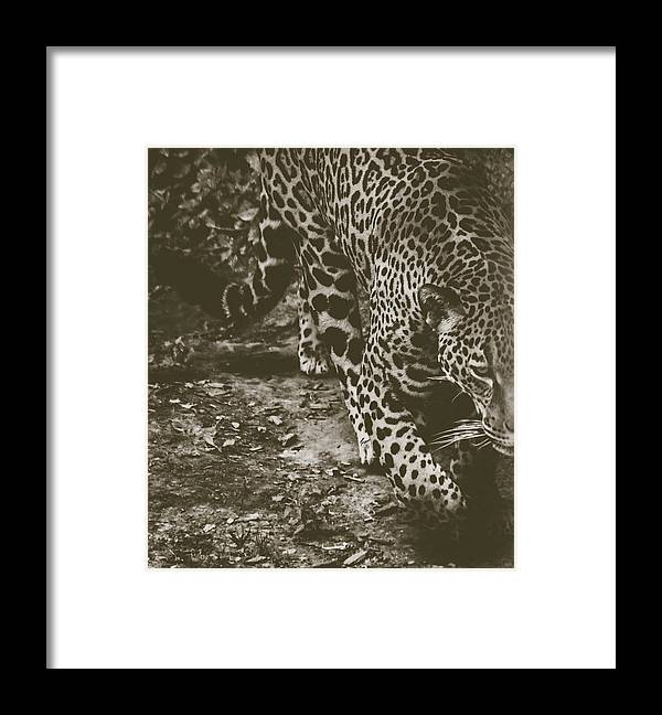Stalk Framed Print featuring the photograph Jaguar On The Prowl by Cody Wright