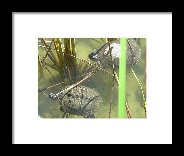 Nature Framed Print featuring the photograph Jamaican Turtles by Peter McIntosh