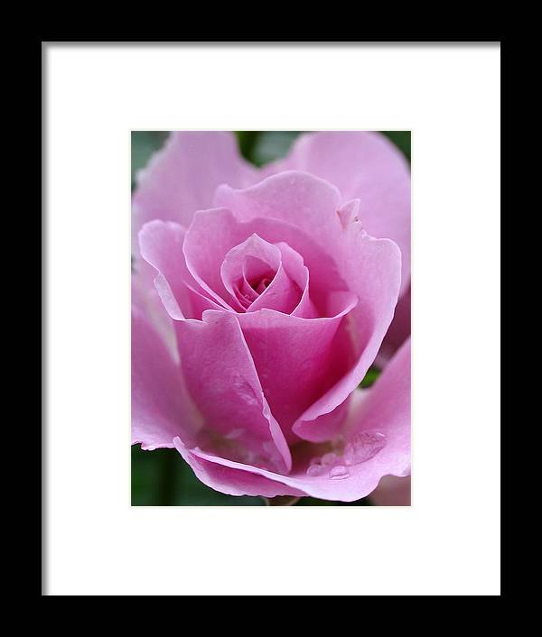 Rose Framed Print featuring the photograph James Kelleher Rose Garden by Juergen Roth