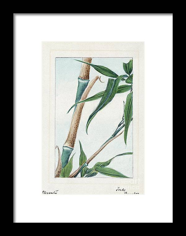 1870s Framed Print featuring the photograph Japan: Bamboo, C1870s by Granger
