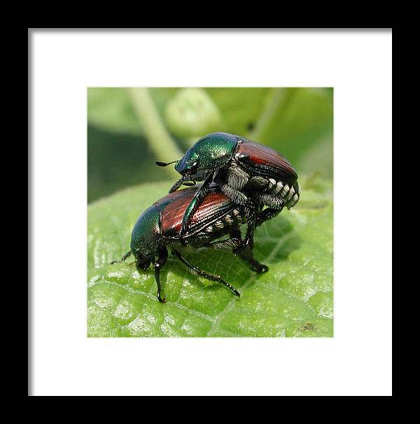 Nature Framed Print featuring the photograph Japanese Beetles Mating by Matt Cormons