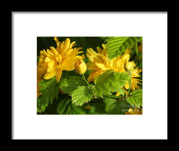 Bright Yellow Framed Print featuring the photograph Japanese Kerria #2 by Kim Tran