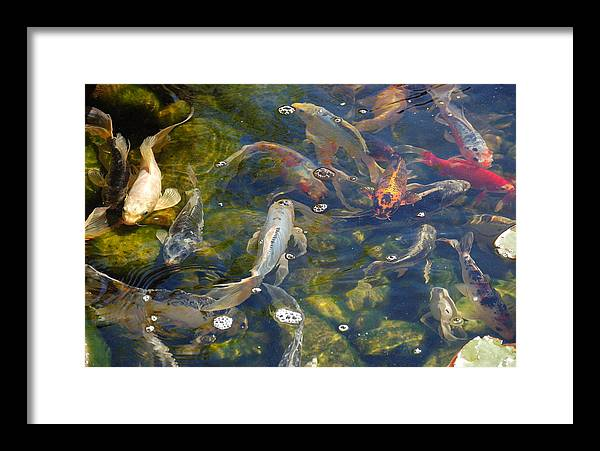 Koi Framed Print featuring the photograph Japanese Koi Fish by Susan Heller