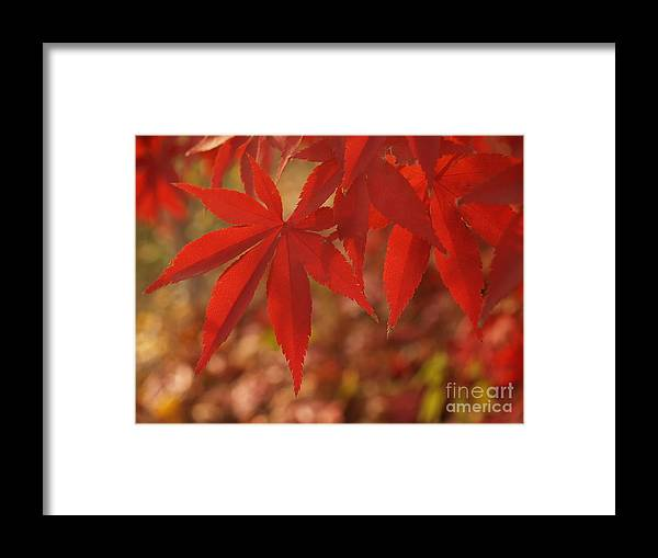 Leaf Framed Print featuring the photograph Japanese Maple In Afternoon by Anna Lisa Yoder