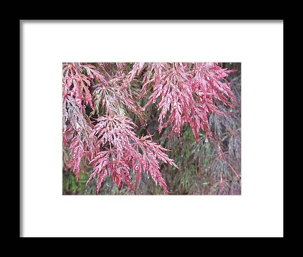 Maple Tree Framed Print featuring the photograph Japanese Maple In The Rain by Ellen B Pate