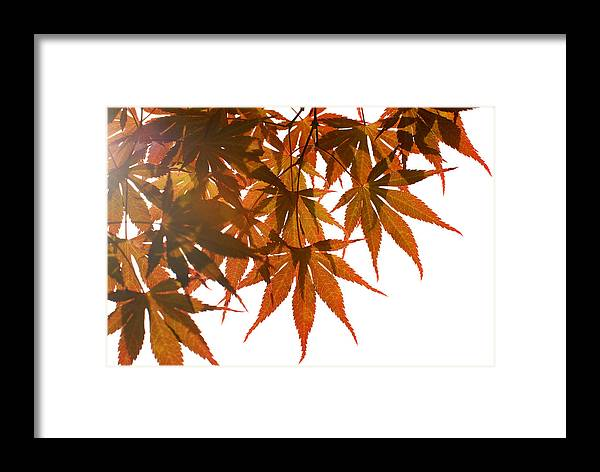 Leaves Framed Print featuring the photograph Japanese Maple by Panos Trivoulides