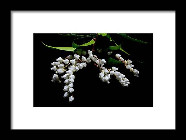 Nature Framed Print featuring the photograph Japanese Pieris 2011-3 by Robert Morin