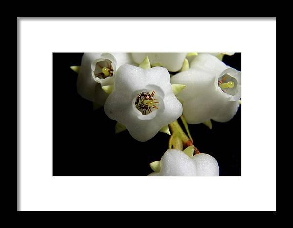 Nature Framed Print featuring the photograph Japanese Pieris 2011-7 by Robert Morin