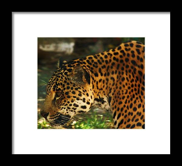 Jaquar Framed Print featuring the photograph Jaquar 3 by Russell Barton