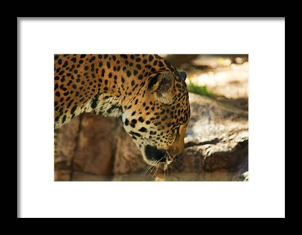 Jaquar Framed Print featuring the photograph Jaquar Drinking Water by Russell Barton
