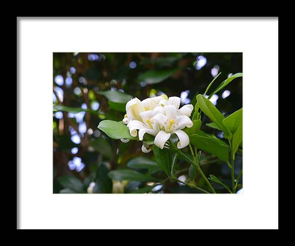 Flowers Framed Print featuring the mixed media Jasmine by Kelly Carballo