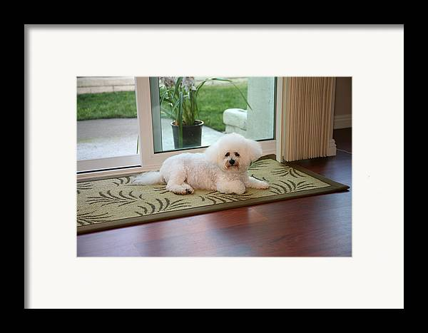 Animal Framed Print featuring the photograph Jolie The Bichon Frise by Michael Ledray