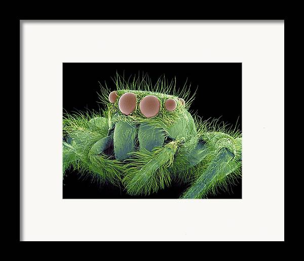 Jumping Spider Framed Print featuring the photograph Jumping Spider, Sem by Susumu Nishinaga