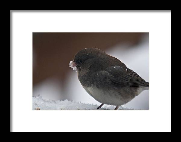 Junco Framed Print featuring the photograph Junco In Snow by Douglas Barnett
