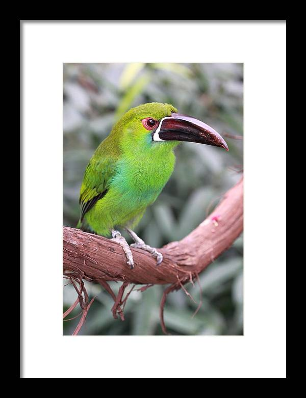 Bird Framed Print featuring the photograph Jungle Swing by Paul Slebodnick