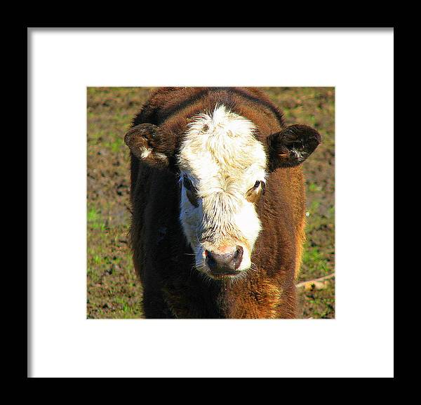 Cow Framed Print featuring the photograph Just A Cow by Kathy Roncarati