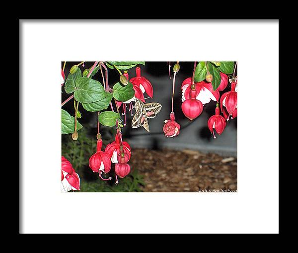 Moth Framed Print featuring the photograph Just A Snack by Nicole I Hamilton