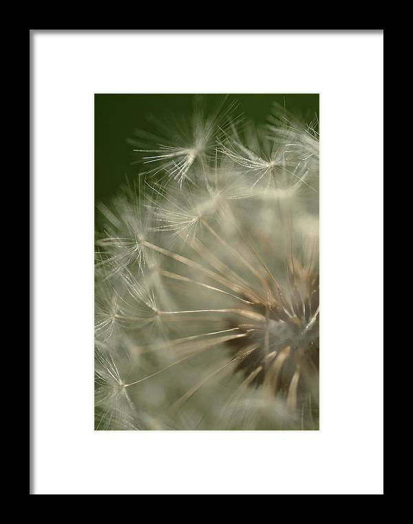 Dandelion Framed Print featuring the photograph Just A Weed by Michael McGowan