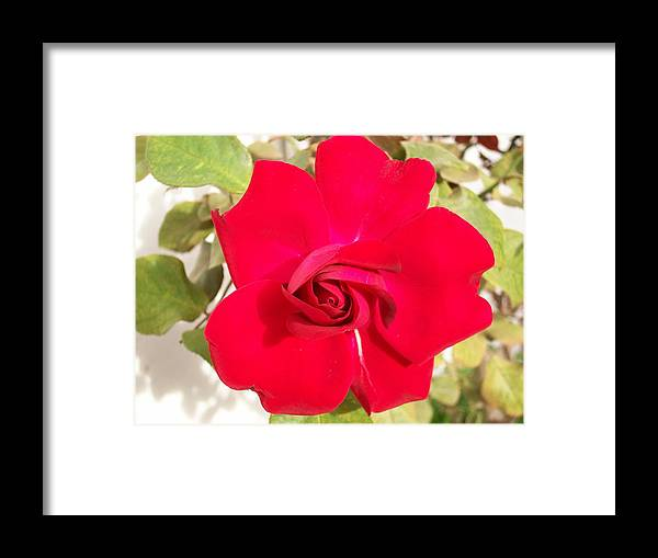 Red Rose Framed Print featuring the photograph Just Another Rose by Caroline Urbania Naeem