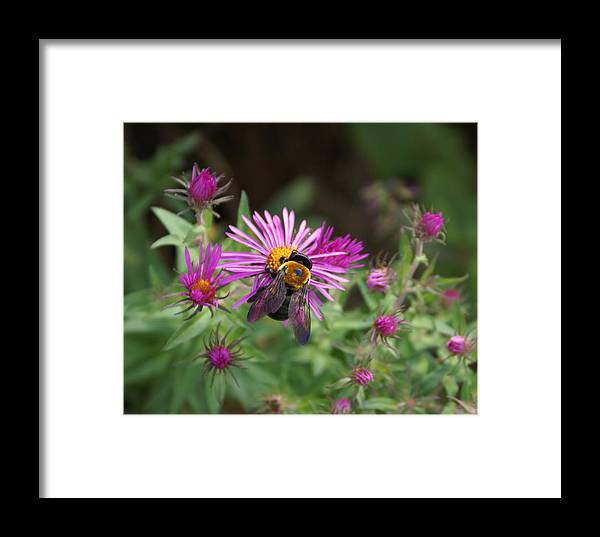Bumble Bee Framed Print featuring the photograph Just Beeing Debbie-may by Debbie May