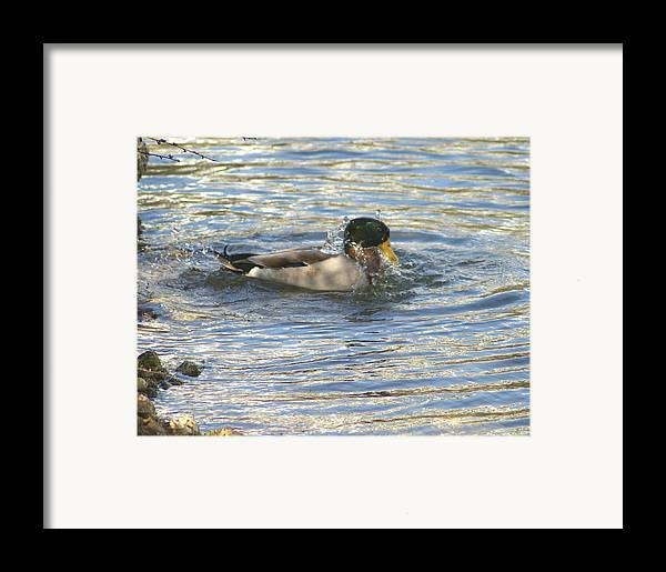 Ducks Framed Print featuring the photograph Just Ducking Around by Debbie May
