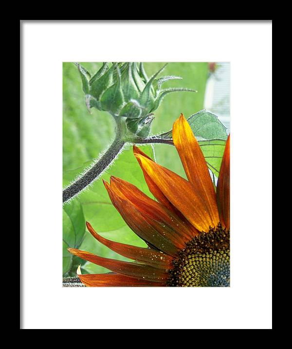 Sunflowers Framed Print featuring the photograph Just For You by Vijay Sharon Govender