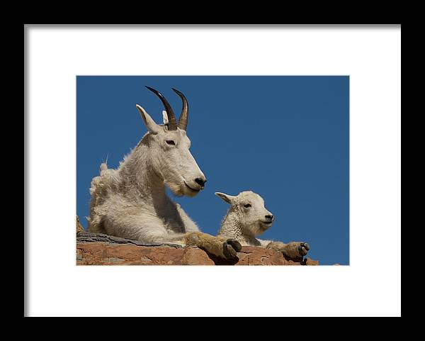 Mountain Goat Framed Print featuring the photograph Just Like Mom by Kent Keller