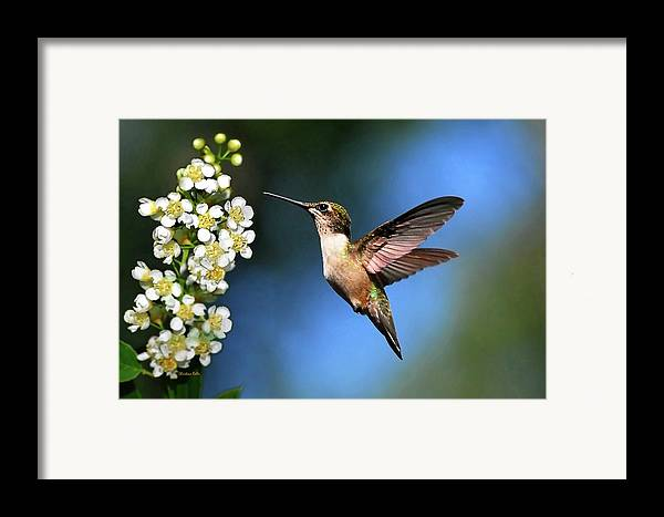 Hummingbird Framed Print featuring the photograph Just Looking by Christina Rollo