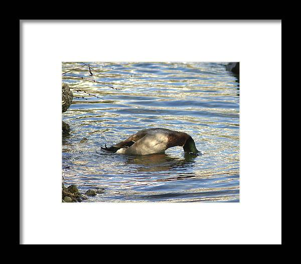 Duck Framed Print featuring the photograph Just One More Peek by Debbie May