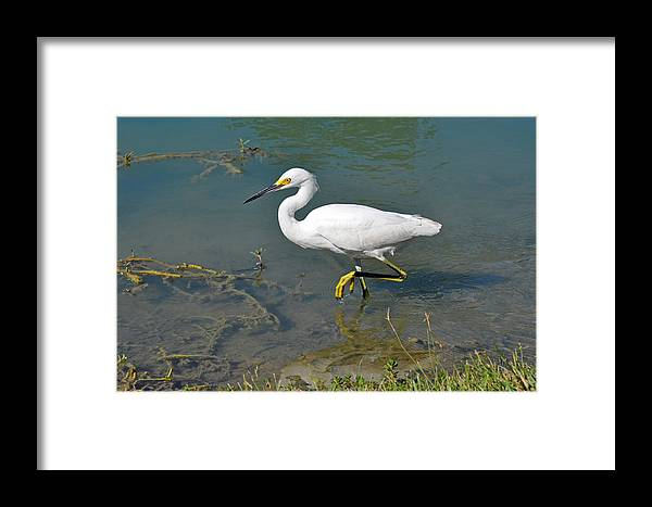 Teresa Blanton Framed Print featuring the photograph Juvenile Egret by Teresa Blanton