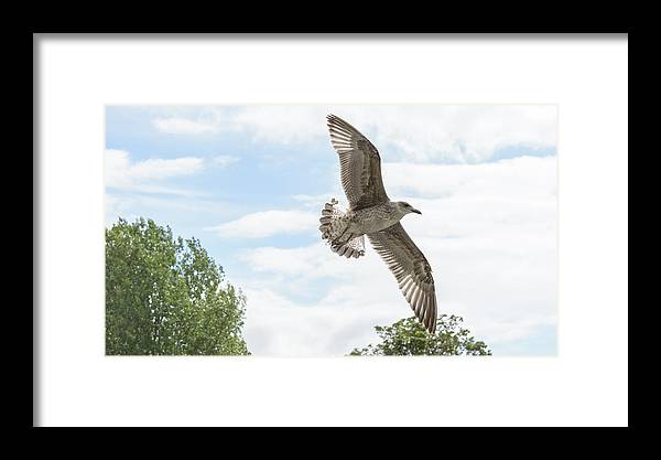 Air Framed Print featuring the photograph Juvenile Seagull In Flight by Jacek Wojnarowski