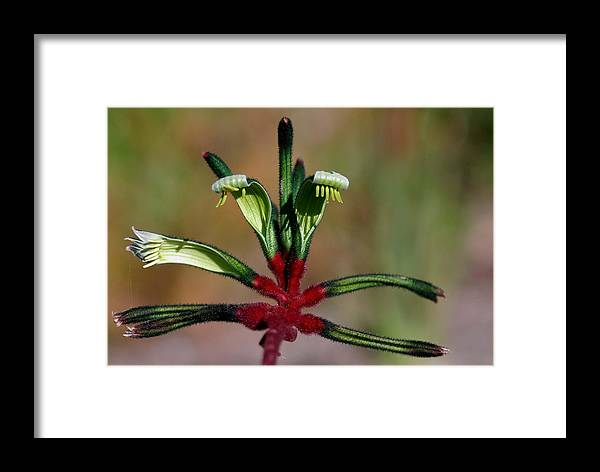 Kangaroo Paw Framed Print featuring the photograph Kangaroo Paw Manglesii by Tony Brown