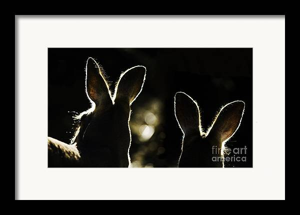 Kangaroo Framed Print featuring the photograph Kangaroos Backlit by Avalon Fine Art Photography