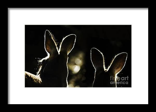 Kangaroo Framed Print featuring the photograph Kangaroos Backlit by Sheila Smart Fine Art Photography