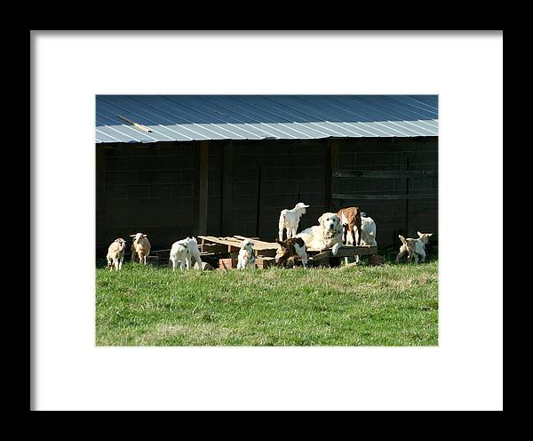 Great Pyrenees Framed Print featuring the photograph Kid Sitter by Linda A Waterhouse
