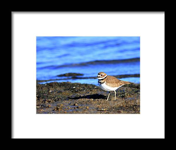 Bird Migration Framed Print featuring the photograph Killdeer . 40d4101 by Wingsdomain Art and Photography