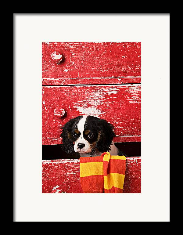 Puppy Framed Print featuring the photograph King Charles Cavalier Puppy by Garry Gay
