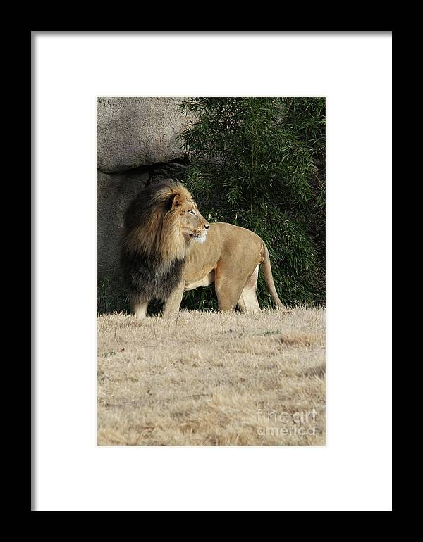 African Lion Framed Print featuring the photograph King Of Beasts by Judy Whitton