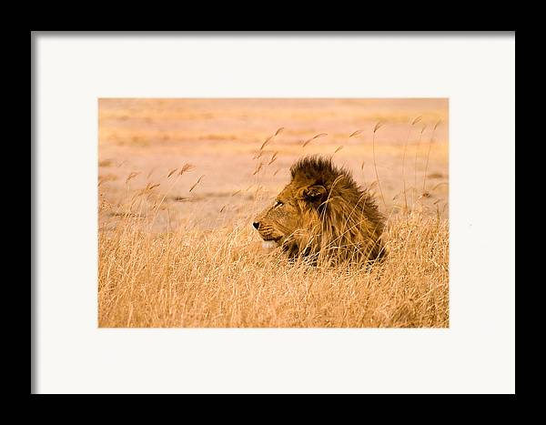 3scape Framed Print featuring the photograph King Of The Pride by Adam Romanowicz
