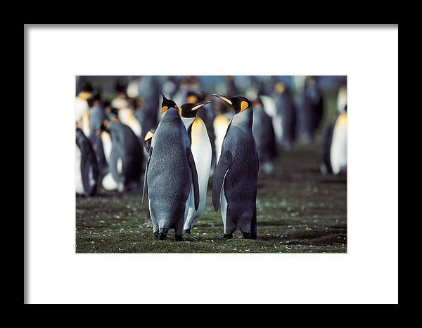 Penguin Framed Print featuring the photograph King Penguins Volunteer Point Falkland Islands by Brian Lockett